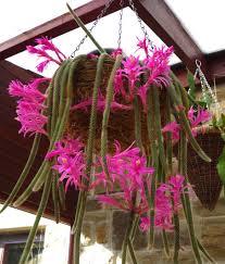В отличие от многих кактусов апорокактус нуждается в повышенной влажности воздуха