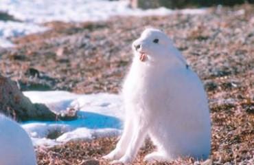 Арктический беляк, или полярный заяц