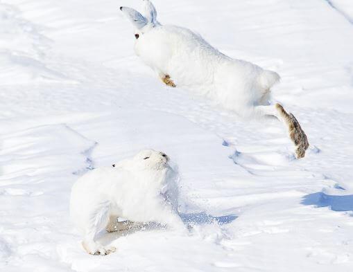 Арктический беляк фото