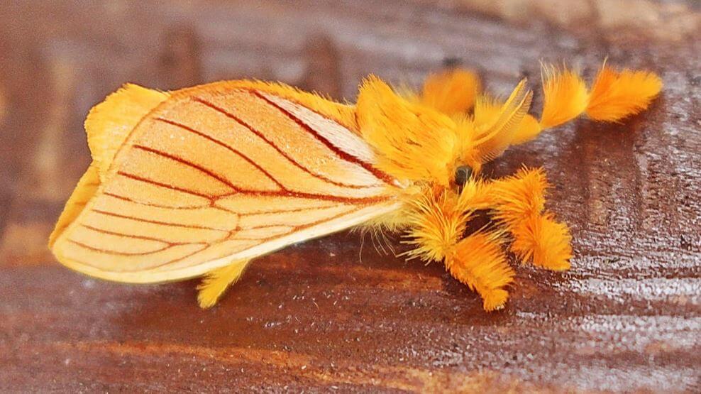 Бабочка Acraga coa фото