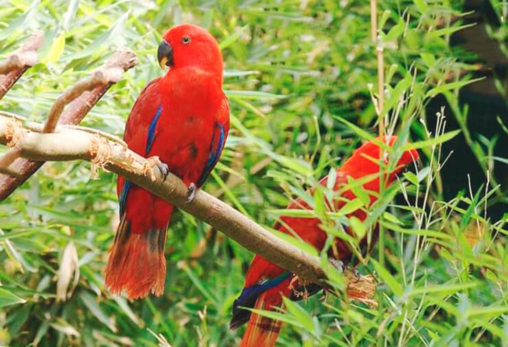 Благородные попугаи ищут еду на дереве
