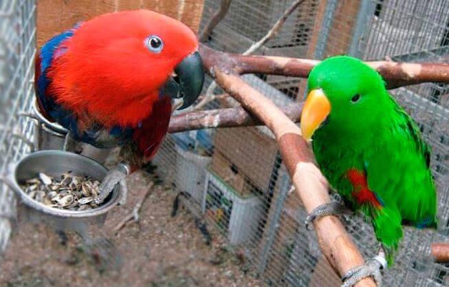 Благородные попугаи в домашних условиях