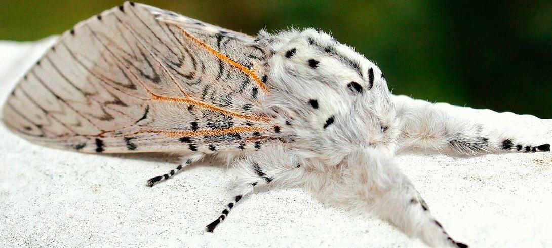Бабочка Большой гарпии