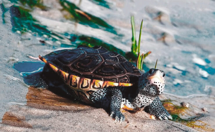 Бугорчатая черепаха на пляже