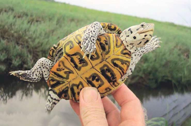 Картинка с бугорчатой черепахой