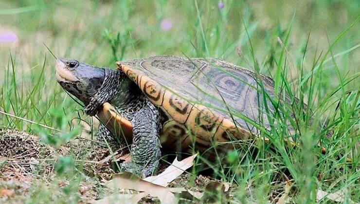 Бугорчатая черепаха фото