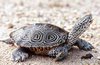 bugorchataya cherepaha Бугорчатая черепаха