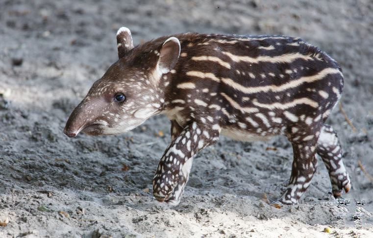 detyonysh gornyy tapir Горный тапир