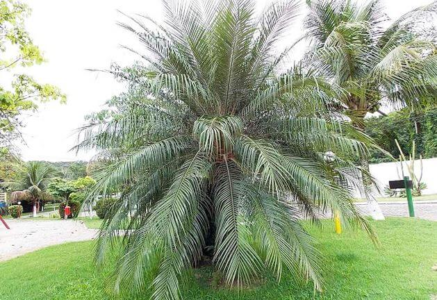 Финиковая пальма на газоне