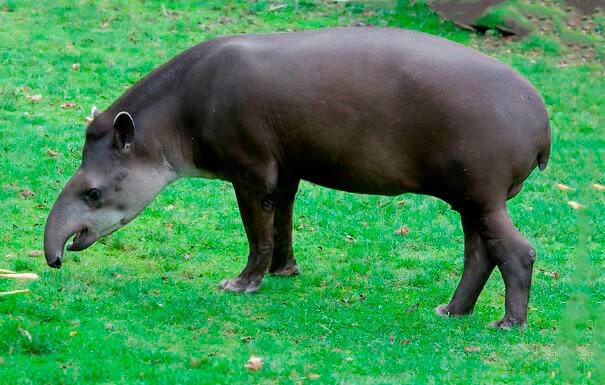 gornyy tapir 1 Горный тапир