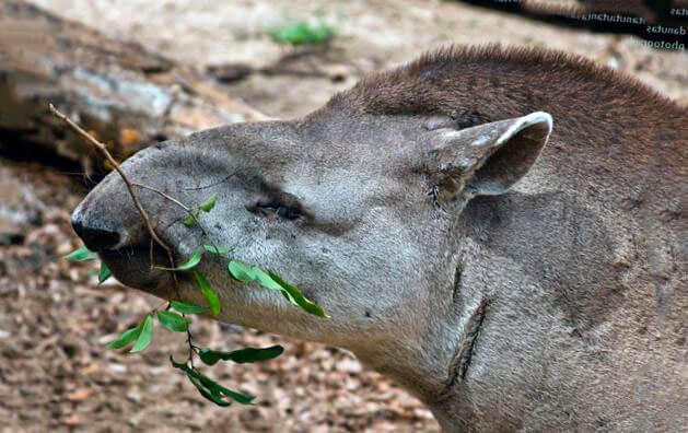 gornyy tapir est ryasku Горный тапир