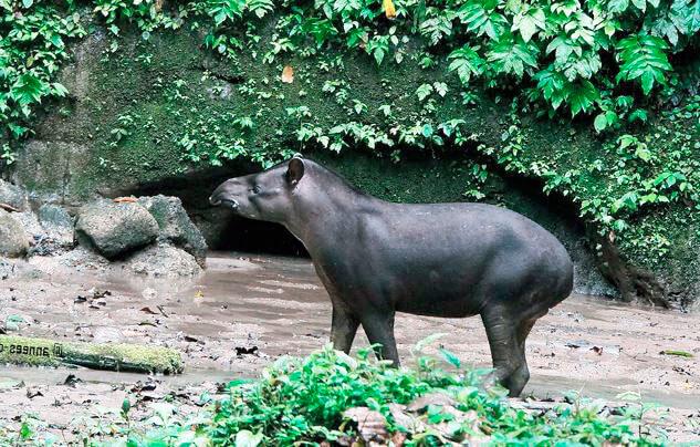 gornyy tapir v lesu Горный тапир