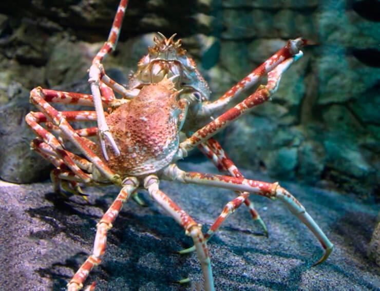 Фото японского краба-паука