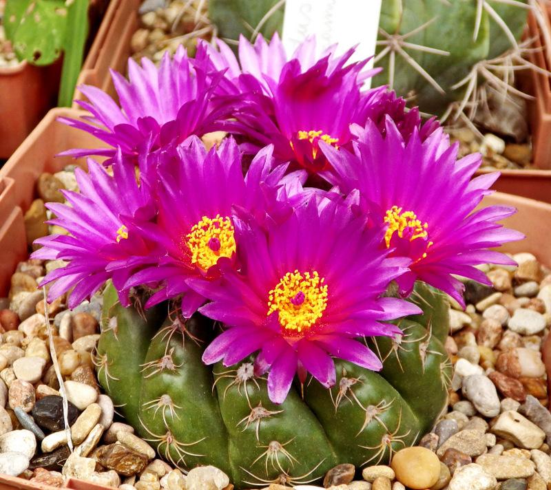 kaktus-parodiya