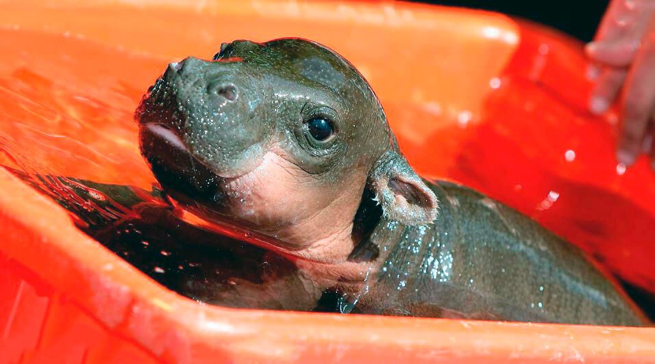 Новорожденный карликовый бегемот