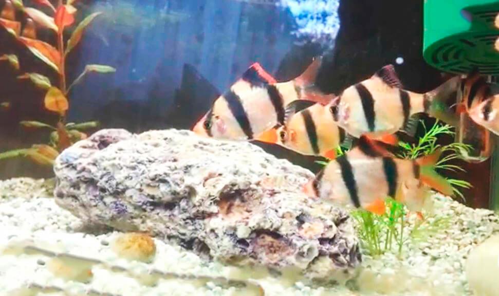 Изображение суматранских барбусов
