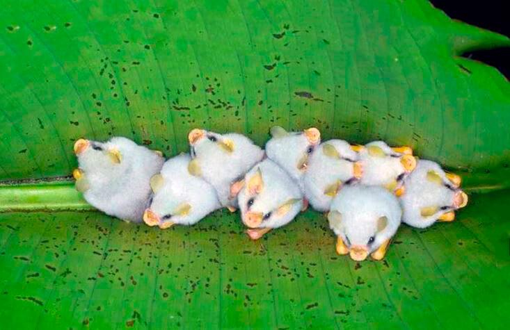 Сообщество белых летучих мышей