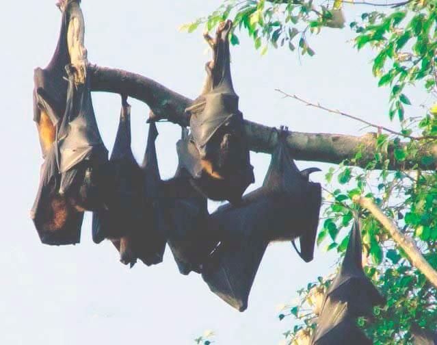 Колония гигантских летучих лисиц