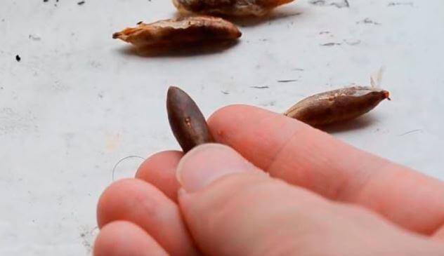 Размножение финиковой пальмы косточкой