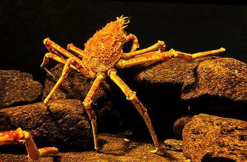malenkiy yaponskiy krab Японский краб паук