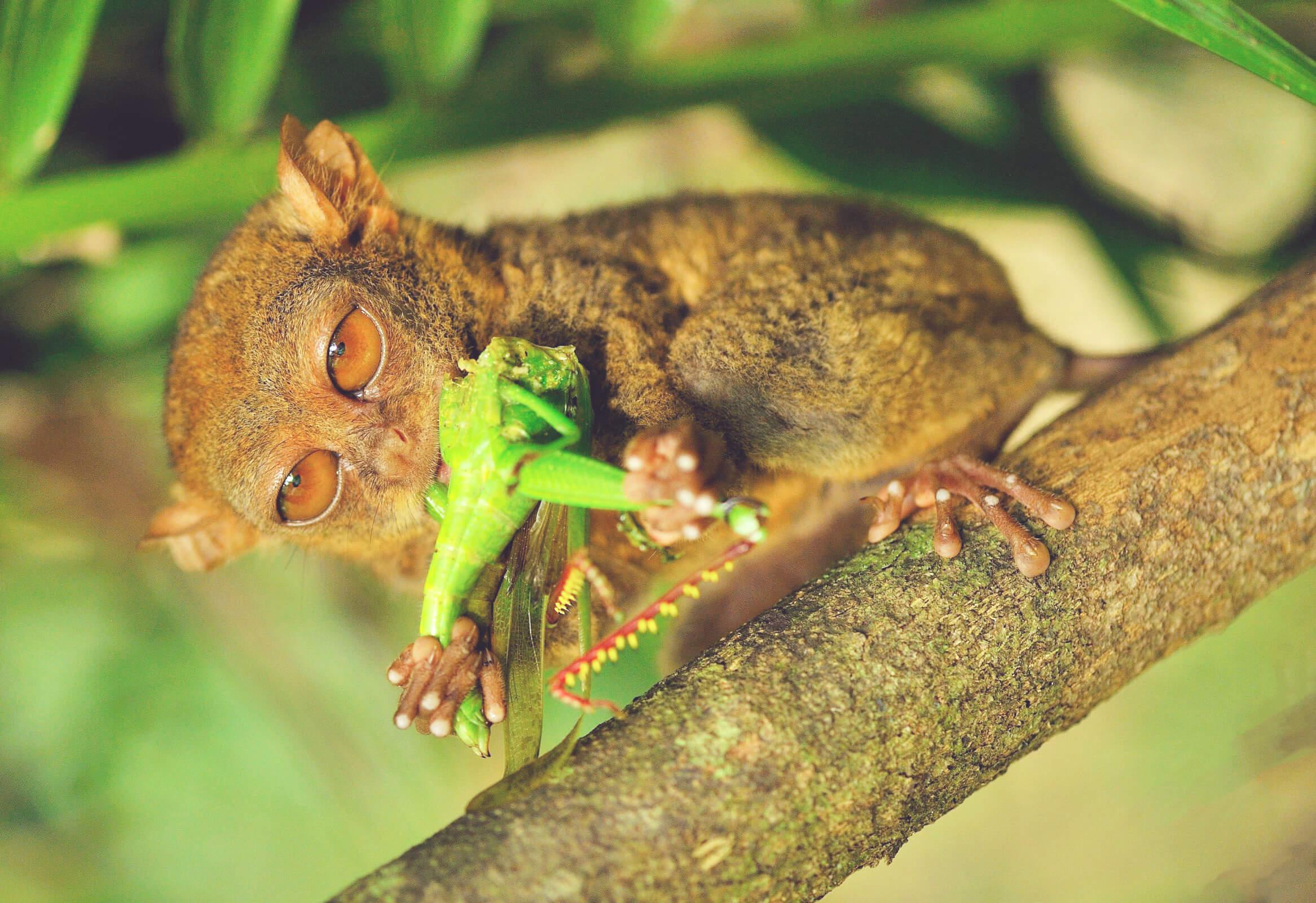 Филиппинский долгопят поедает насекомое