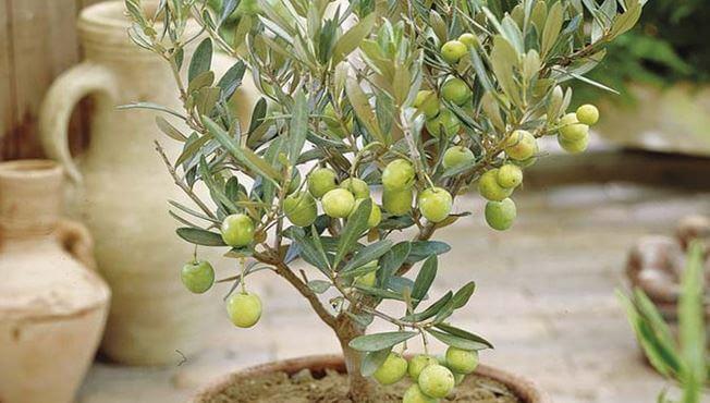 Olea europaea с плодами