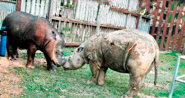 Всреча суматранских носорогов