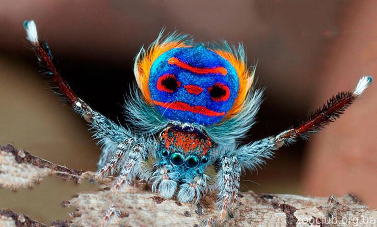Павлиний паук фото