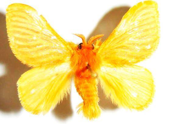 Acraga coa в размахе крыльев
