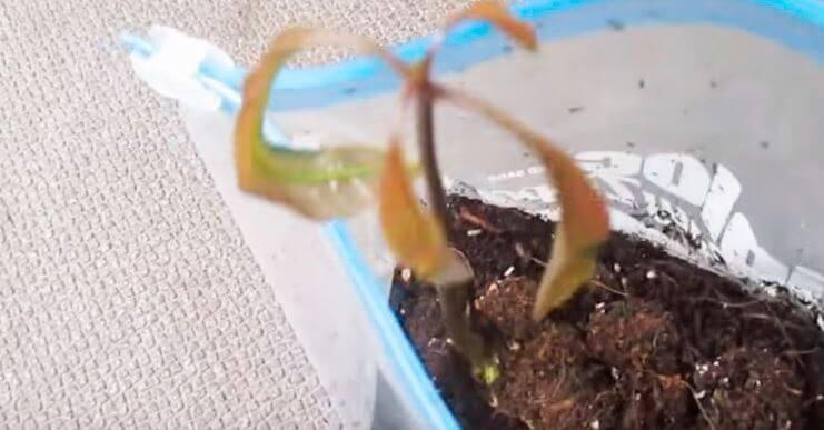 Проросший росток манго