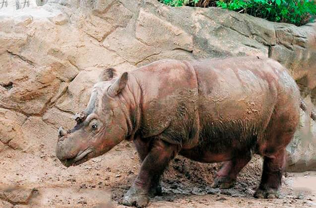 Прогулка суматранского носорога
