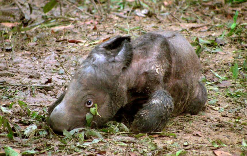 Новорожденный суматранский носорог