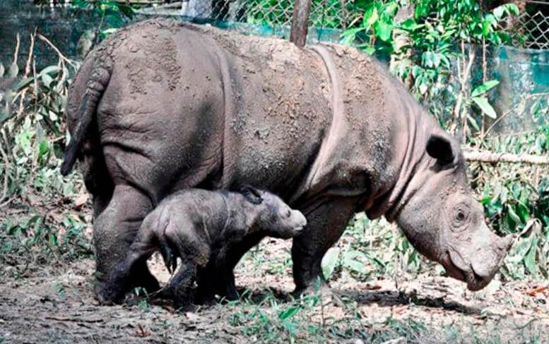 Самка суматранского носорога с малышом