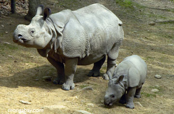 sumatranskiy nosorog1 Суматранский носорог