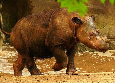 sumatranskiy nosorog2 Суматранский носорог