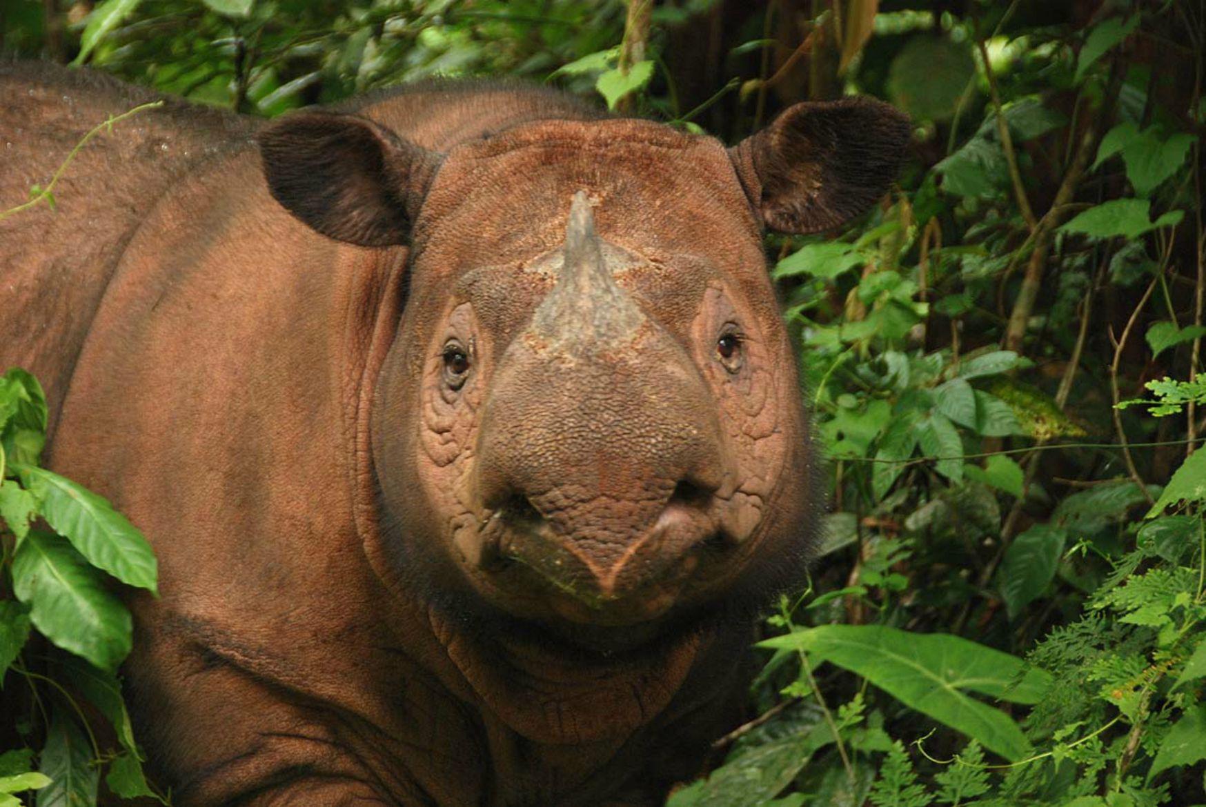 sumatranskiy nosorog3 Суматранский носорог