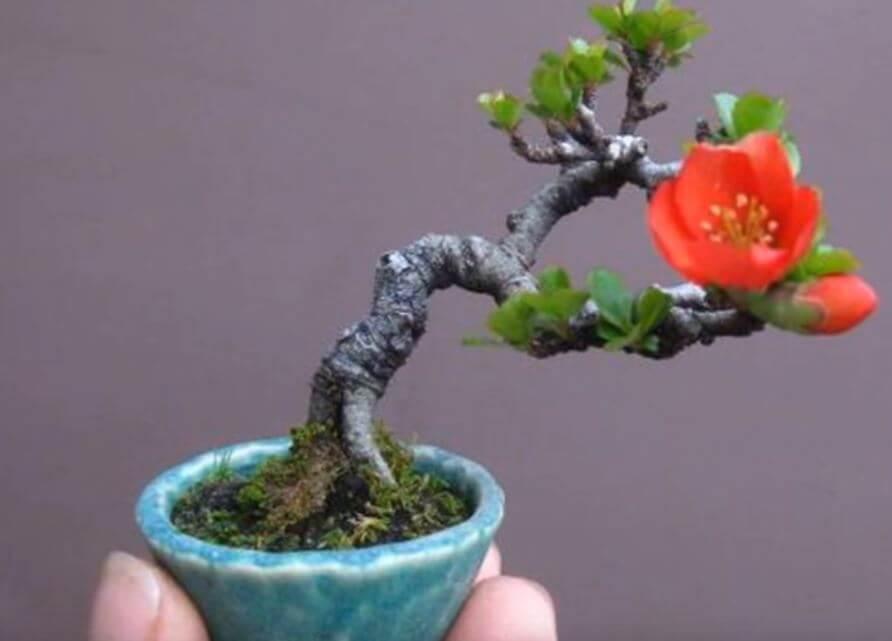 Chaenomelis japonica бонсай