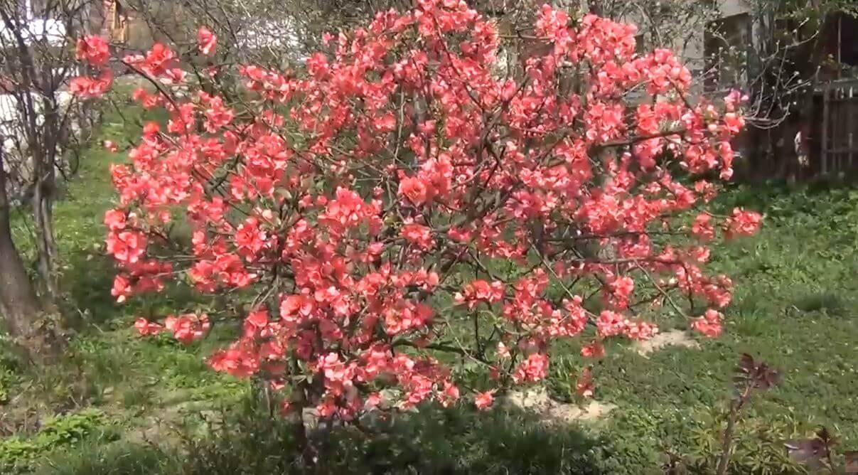 Айва японская в саду