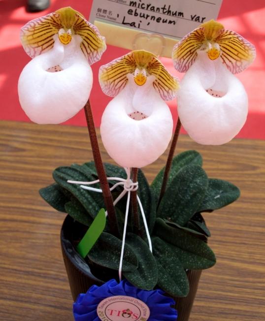 Paphiopedilum1 Орхидея пафиопедилум