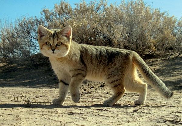 barhannaya koshka1 Барханная кошка