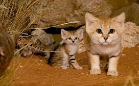 barhannaya koshka3 Барханная кошка