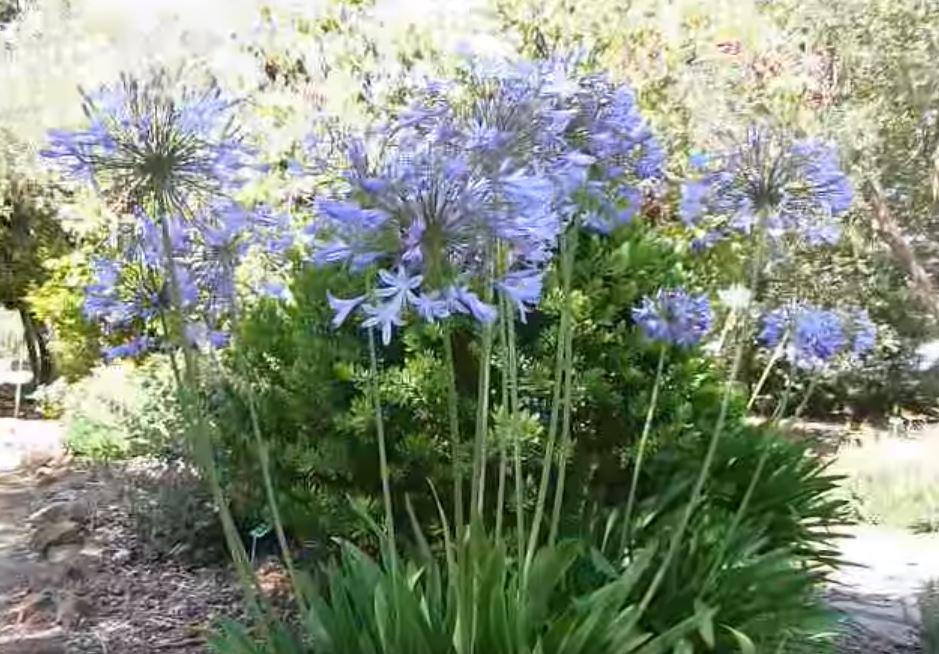 cvety agapantusa Агапантус