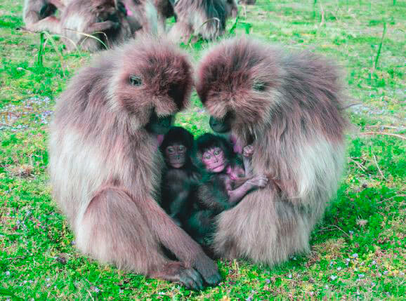 Самки гелада с малышом
