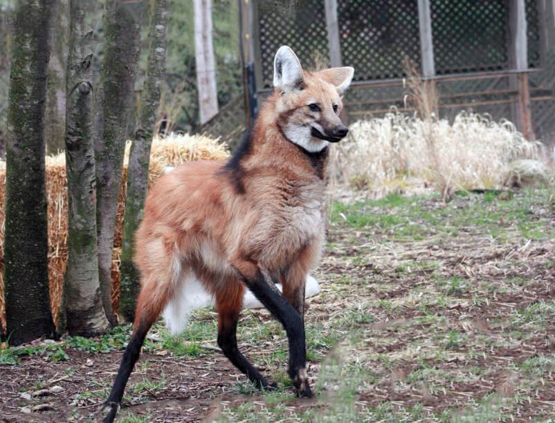 Гривистый волк фото