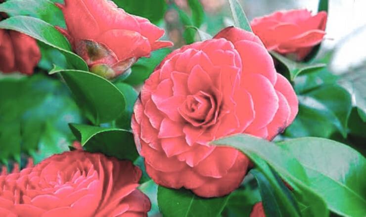 Фото Camellia