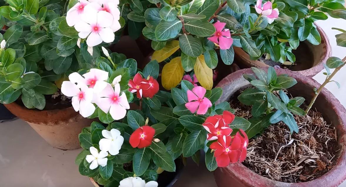 Catharantus roseus