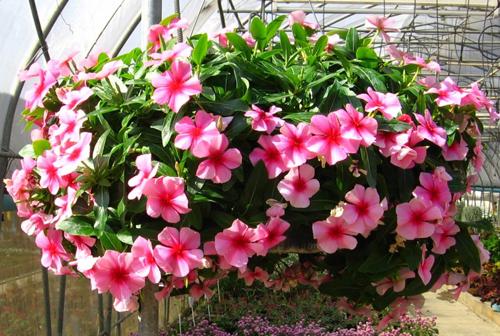 katarantus rozovyy Катарантус розовый