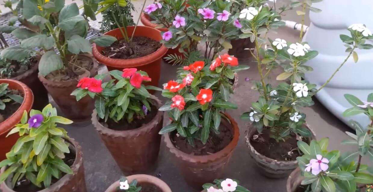katarantusy raznyh cvetov Катарантус розовый
