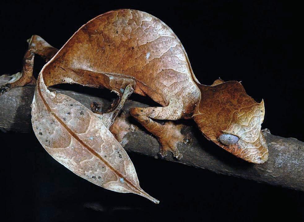 Внешний вид листохвостого геккона