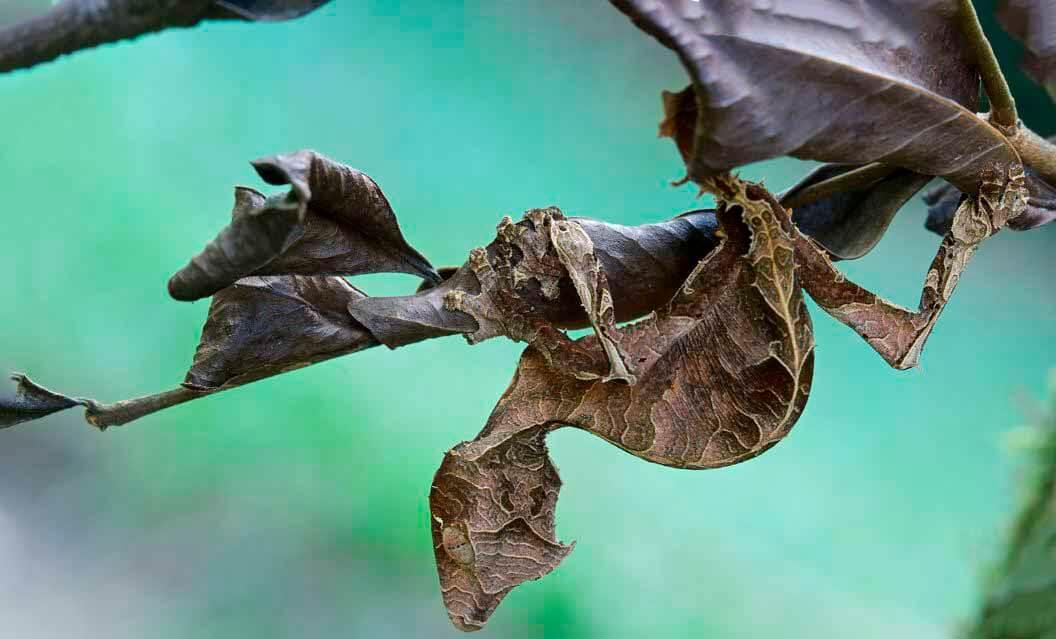 Камуфляж листохвостого геккона
